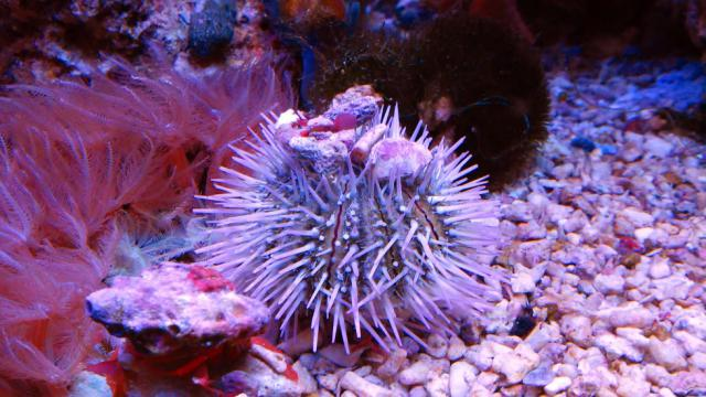 Pinky the Urchin