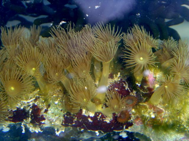 Yellow Colonial Polyps
